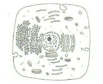 The diagram below represents a cell as seen under an ...